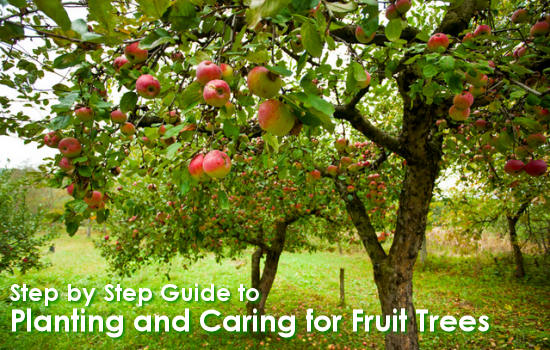 Step by Step Guide to Planting and Caring for Fruit Trees
