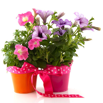 Potted Petunia makes for a lovely gift for gardeners